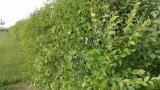 Jilm sibiřský - rychle rostoucí živý plot
